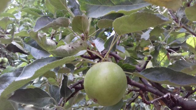 Ilustracija: plod jabuke