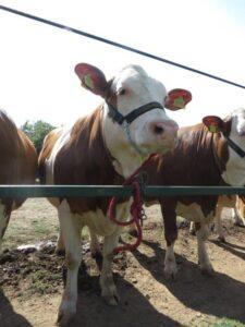 iIlustracija: izložba stoke