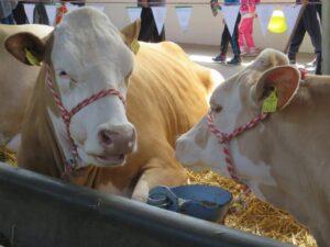 Ilustracija: farma krava