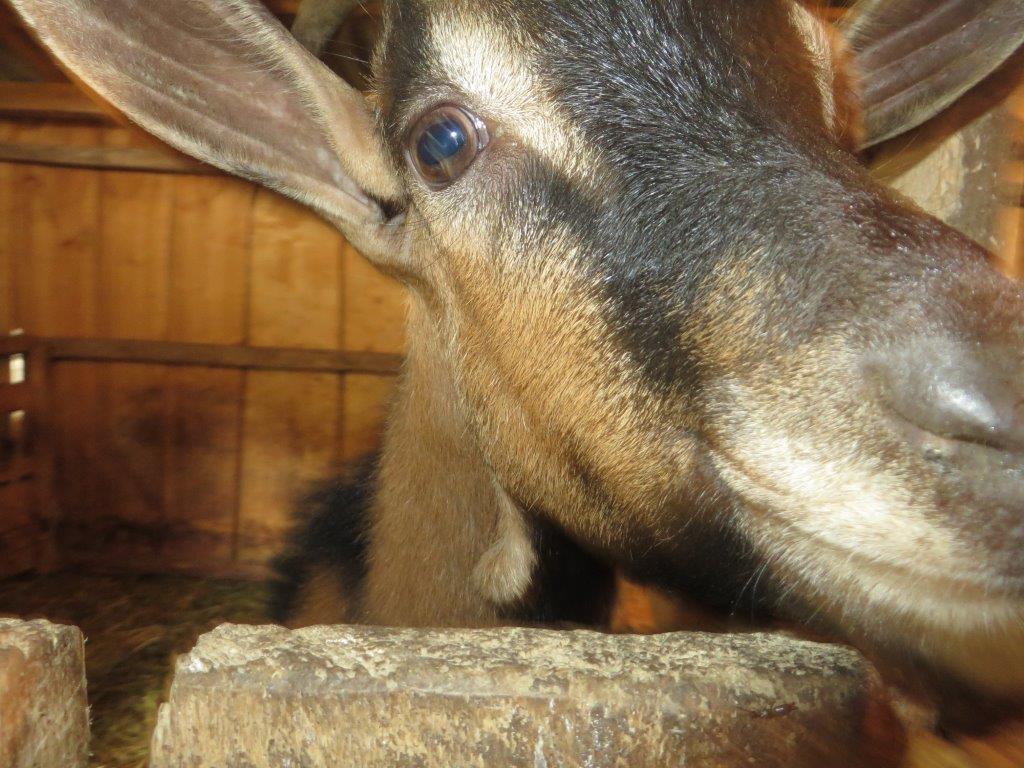 Ilustracija: koze, foto: G.Đ.
