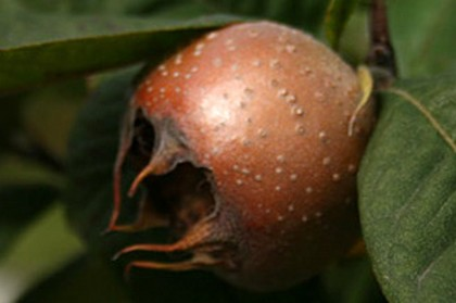 Ilustracija: plod mušmule, foto: http://wiki.poljoinfo.com