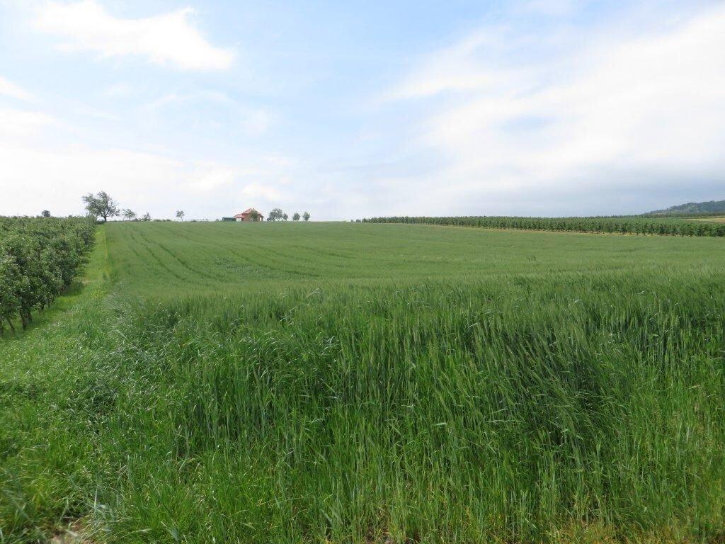 Ilustracija; pšenica, foto: Domaćinska kuća