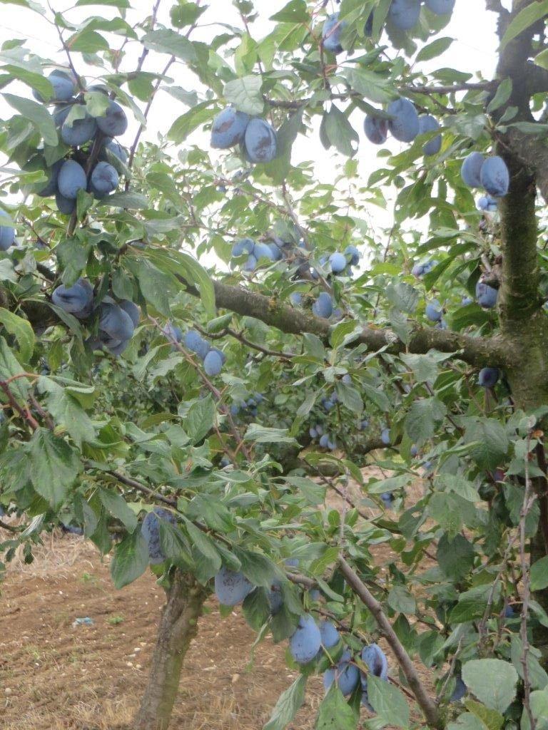 Ilustracija: plodovi šljive