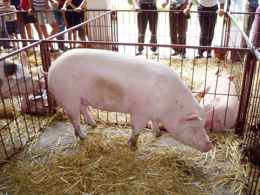 Ilustracija: svinje, foto: Domaćinska kuća