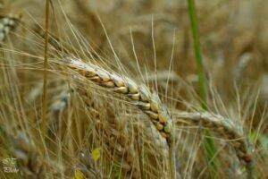 Ilustracija: pšenica, foto: Ivana Trifković