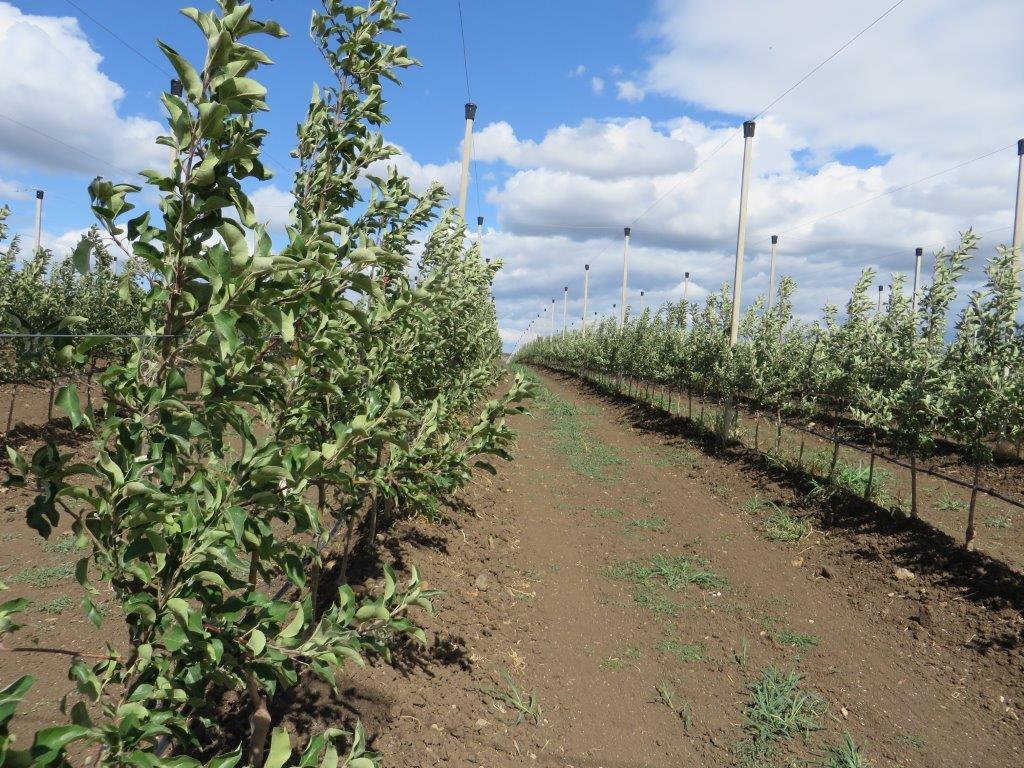 Ilustracija: Zasad jabuka Delta Agrar vocnjak intezivno druga godina