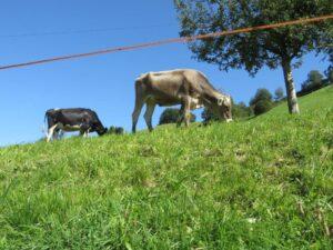 Ilustracija: krave na ispaši