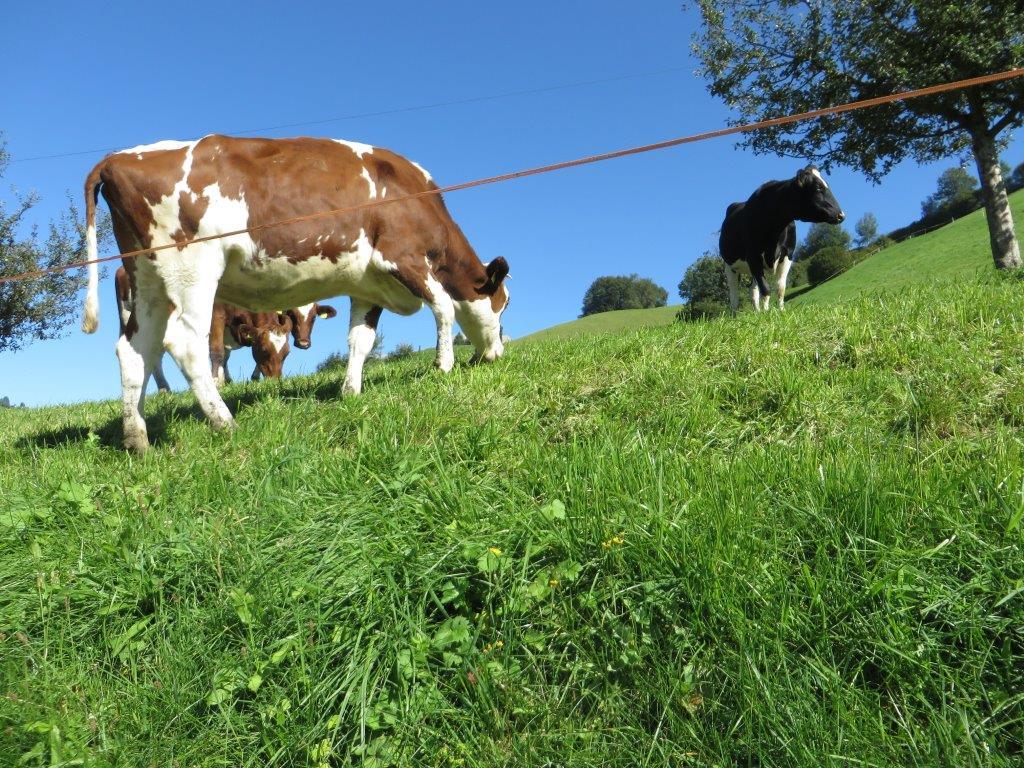 Ilustracija: krave na ispaši, foto: Svetlana Kovačević