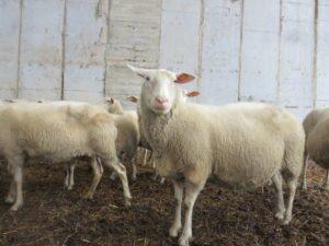 Ilustracija: farma ovaca, foto: S.K.