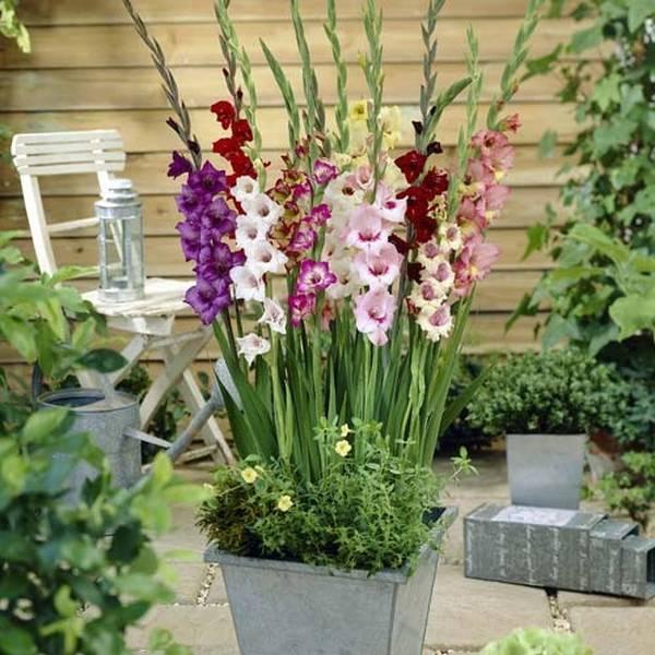 Ilustracija: gladiola-u-saksiji, foto: http://saznajlako.com/