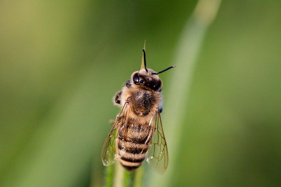 Ilustracija. pčela, foto. pixabay