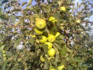 Ilustracija: jabuke na grani