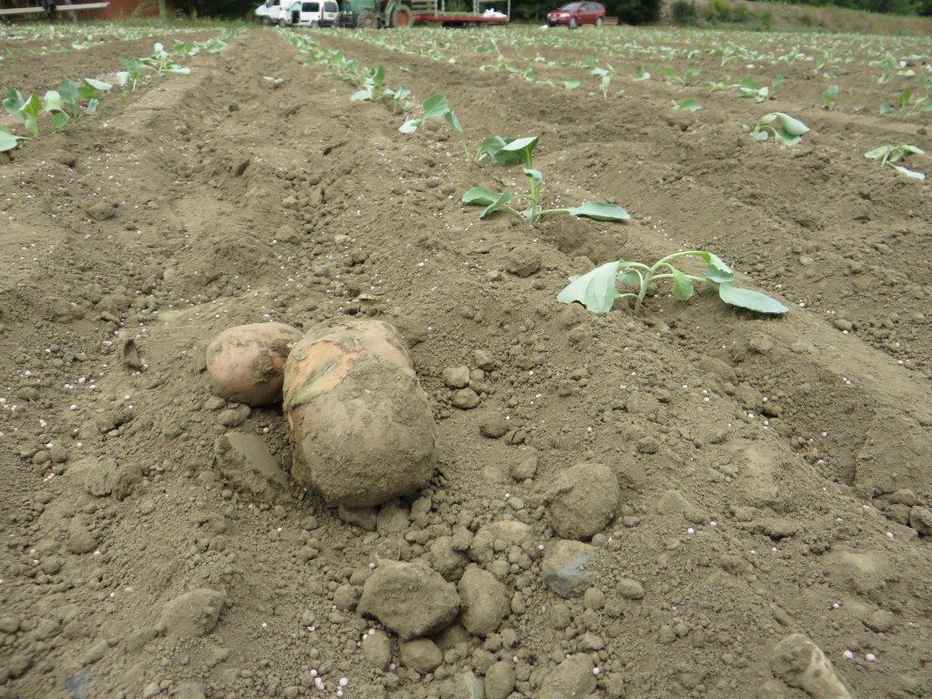 Ilustracija: krompir na njivi, foto: S. K.
