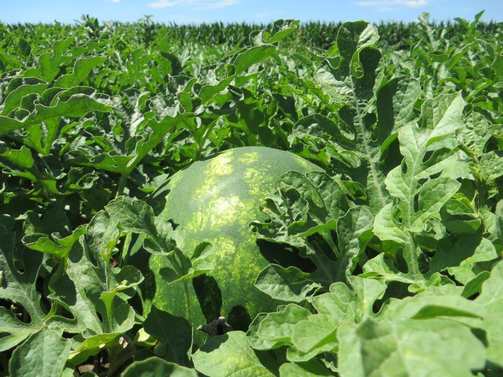 Ilustracija: Gajenje lubenice, foto: G.Đ.