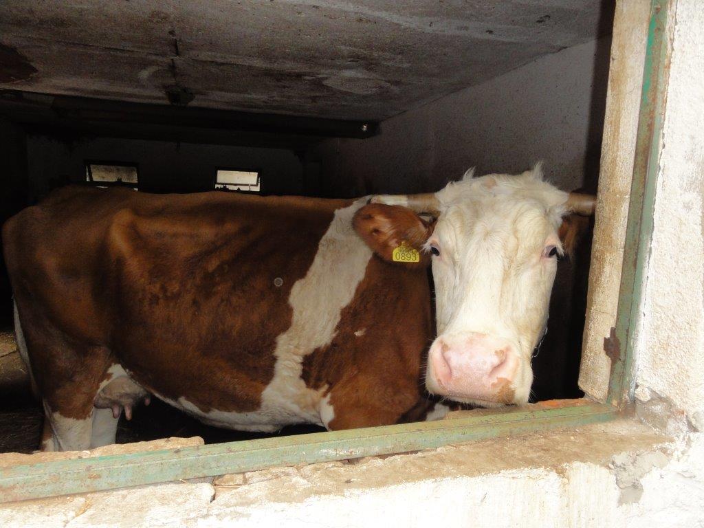 Ilustracija: Farma krava, foto: S.K.