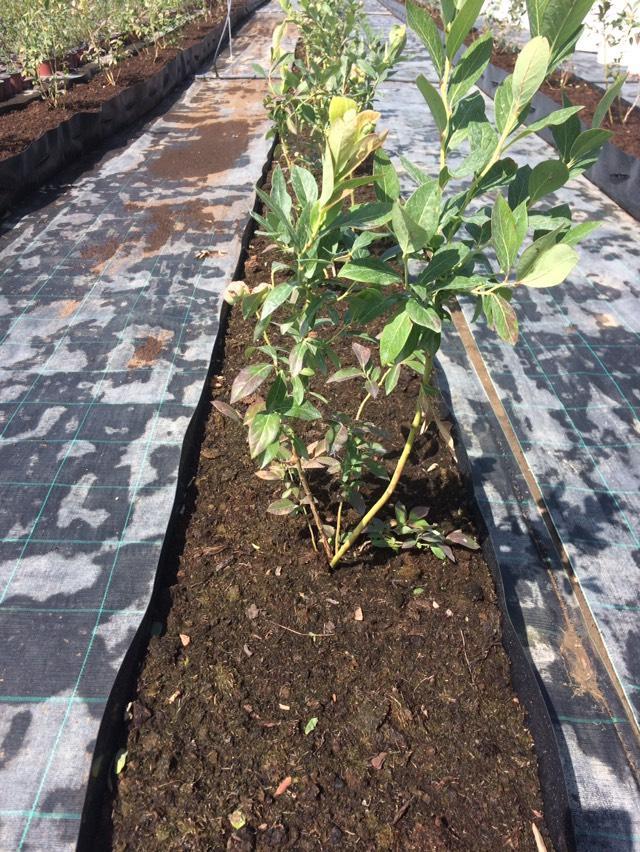 Ilustracija: Sadnice borovnice, foto: Superior iz Velike Plane