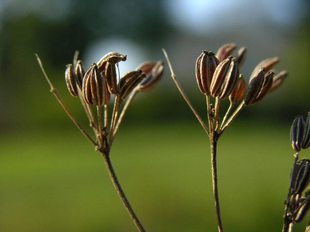 Ilustracija: anis, foto:Pimpinella anisum