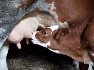 Ilustracija: Krava sa teletom, foto: Domaćinska kuća