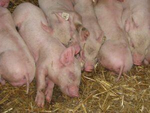 Ilustracija: tov svinja foto: Domaćinska kuća