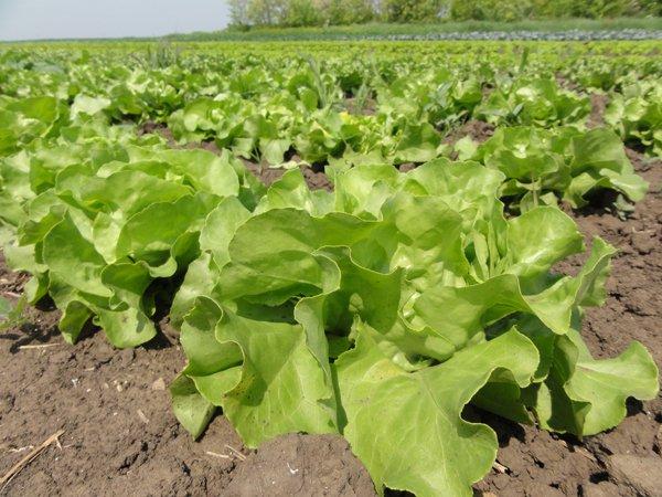 Ilustracija: Organska salata, foto: Domaćinska kuća