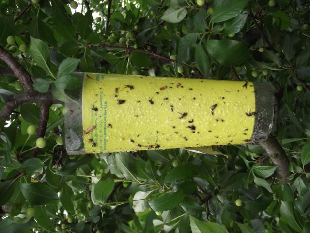 Ilustracija: klopke za insekte: foto: http://pissrbija.com