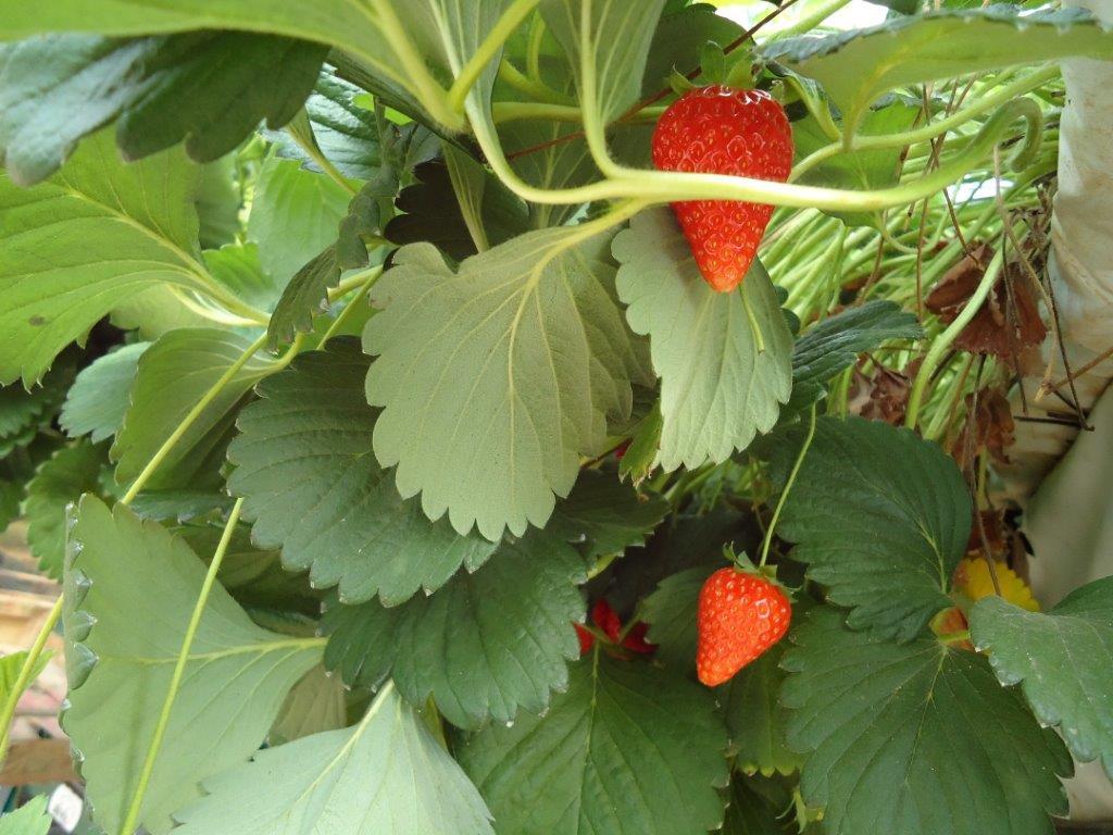Ilustracija: jagode viseće. foto: Domaćinska kuća