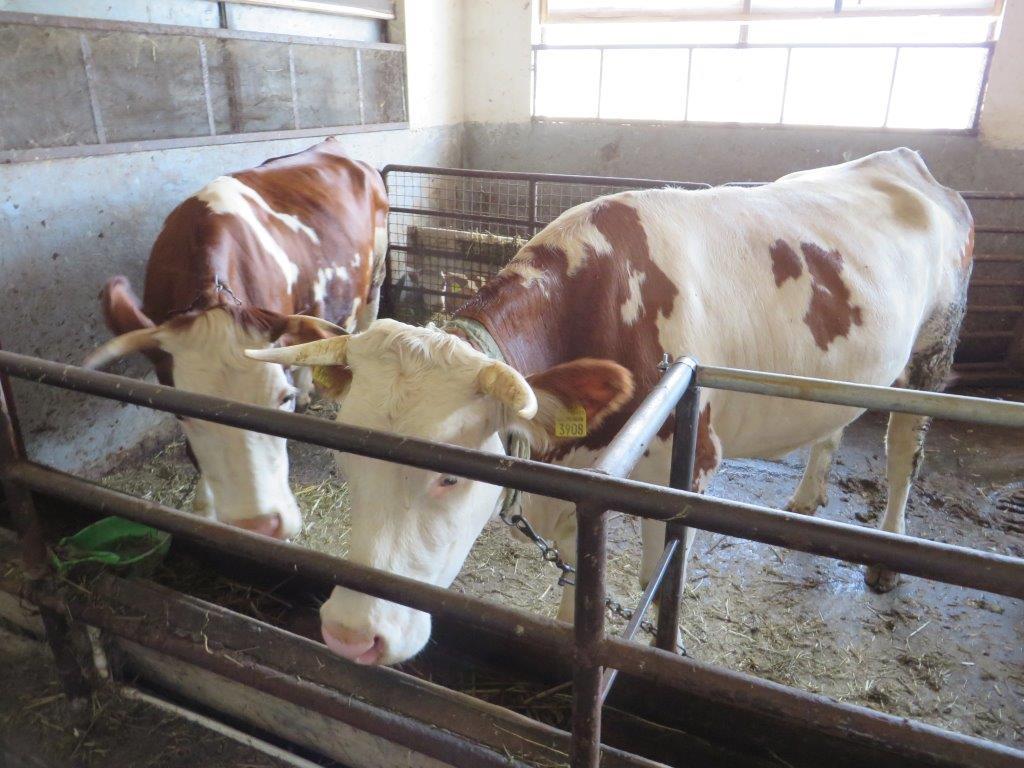Ilustracija: farma krava u Sukovu, foto: G.Đ.