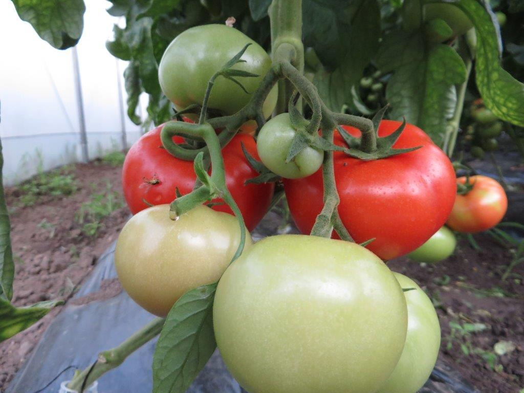 Ilustracija: paradajz, foto: Domaćinska kuća