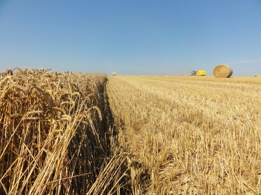 Ilustracija: Žetva pšenice. foto: Svetlana Kovačević