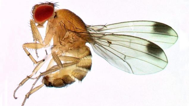 Ilustracija: vinska mušica, foto: https://blog.invasive-species.org/