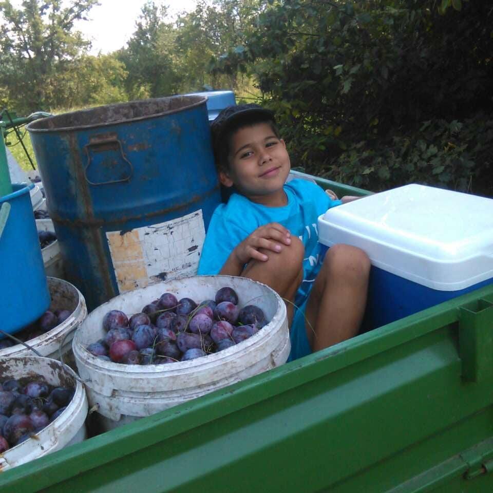 Ilustracija: Vuk Radomirović, pomaže u skupljanju šljiva, foto: Domaćinska kuća