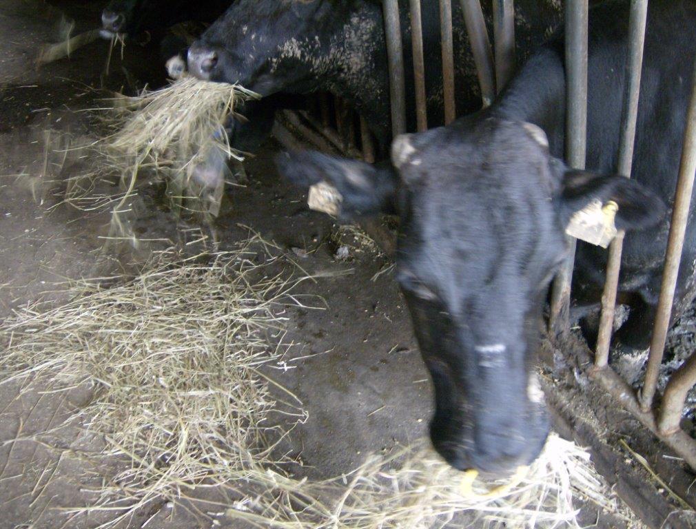 Ilustracija: govedarstvo, foto: Domaćinska kuća
