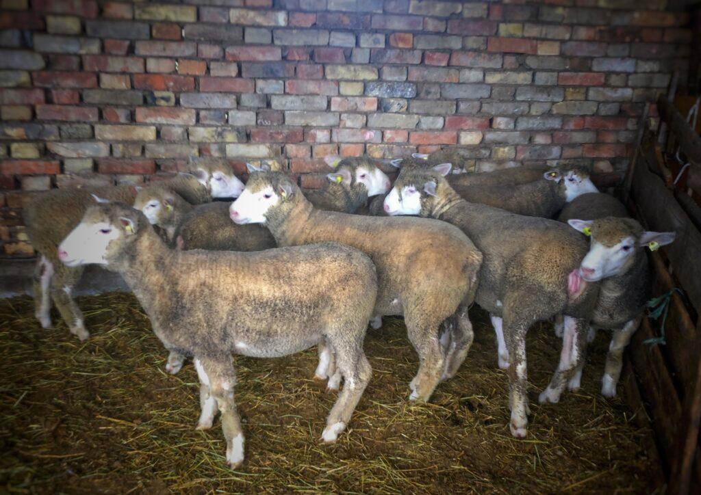 Ilustracija: farma ovaca, foto: Nikola Stanić