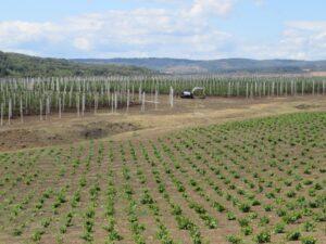 Ilustracija: Mlad vinograd stona sorte