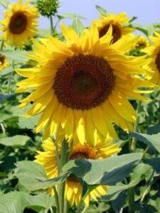 Ilustracija: Suncokret, foto: Domaćinska kuća