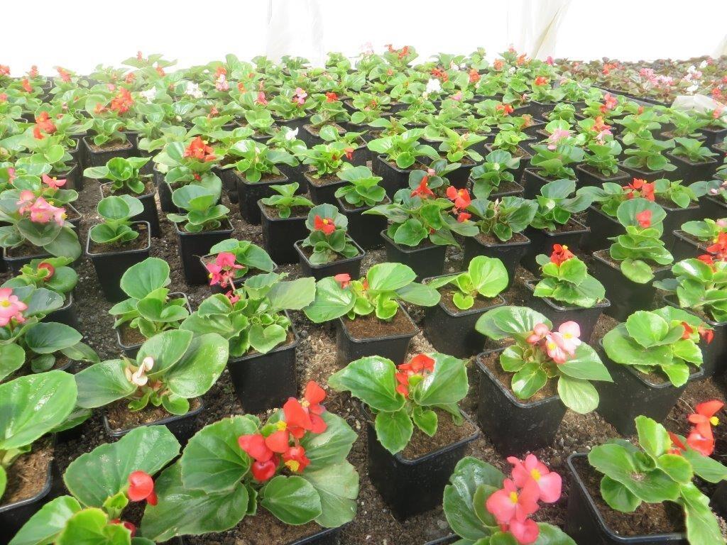 Ilustracija: begonije u malim saksijama, foto: Svetlana Kovačević
