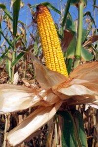 Ilustracija: kukuruz, foto: Domaćinska kuća