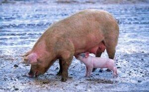 Ilustracija: svinje, foto: pixabay