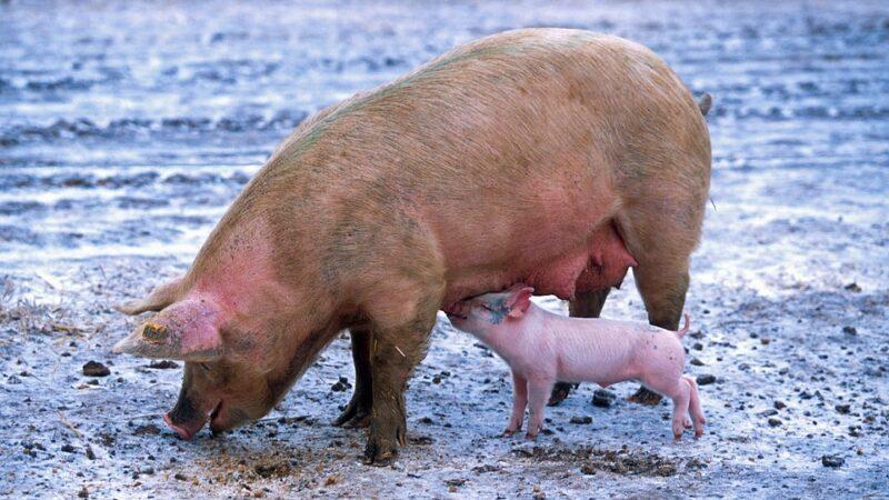 Da li će svinjska kuga doći i kod nas