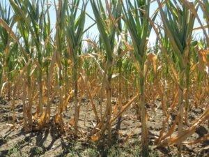 Ilustracija: suša kukuruza, foto: Domaćinska kuća