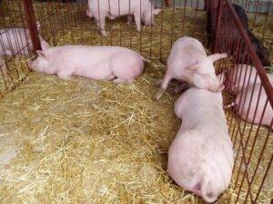 Ilustracija: svinje i prasići, foto. Svetlana Kovačević