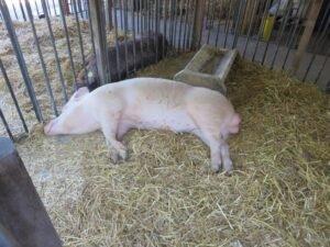 Ilustracija: svinje, foto: Svetlana Kovačević
