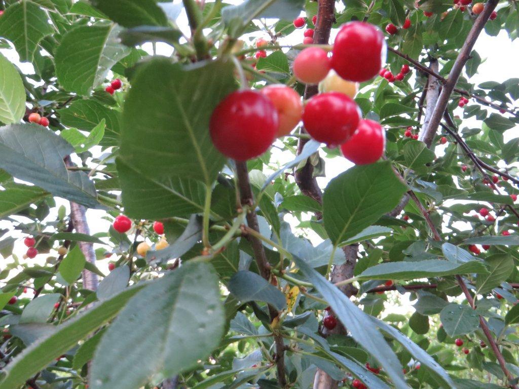 Ilustracija: trešnje, foto: Domaćinska kuća