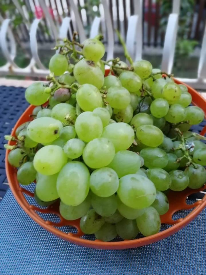 Ilustracija: stono grožđe, foto: Svetlana Kovačević