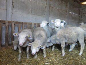 Ilustracija: ovčarstvo, foto: Svetlana Kovačević