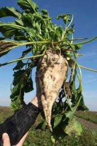 Ilustracija: šećerna repa, foto: Svetlana Kovačević