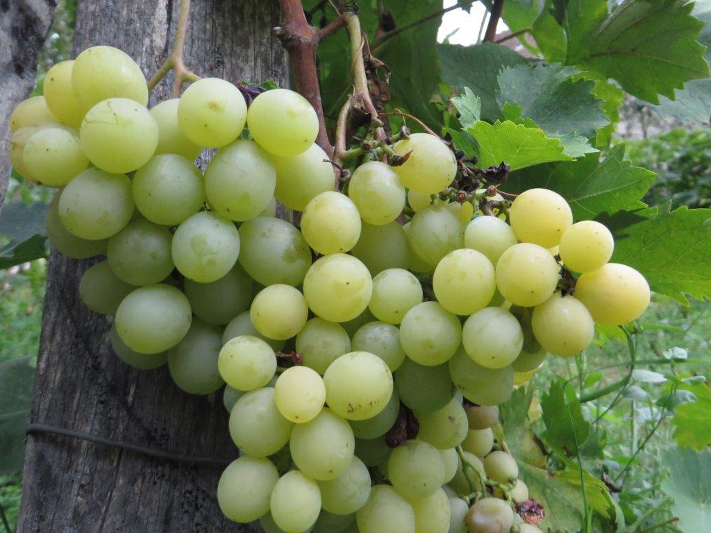 Ilustracija: belo stono grožđe, foto: Svetlana Kovačević