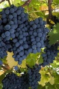 Ilustracija: grožđe, foto: Svetlana Kovačević