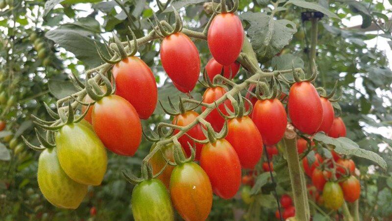 Da li će pasti cena paradajza