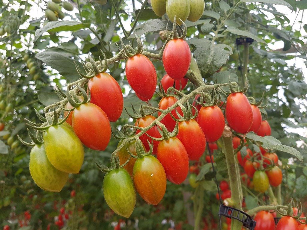 Ilustracija: čeri paradajz, foto: Svetlana Kovačević